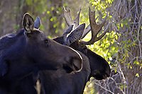 Two Moose, Grand Teton National Park