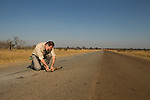 Rusty-spotted Genet (Genetta maculata) male killed on road, examined by biologist, Luke Hunter, Kafue National Park, Zambia