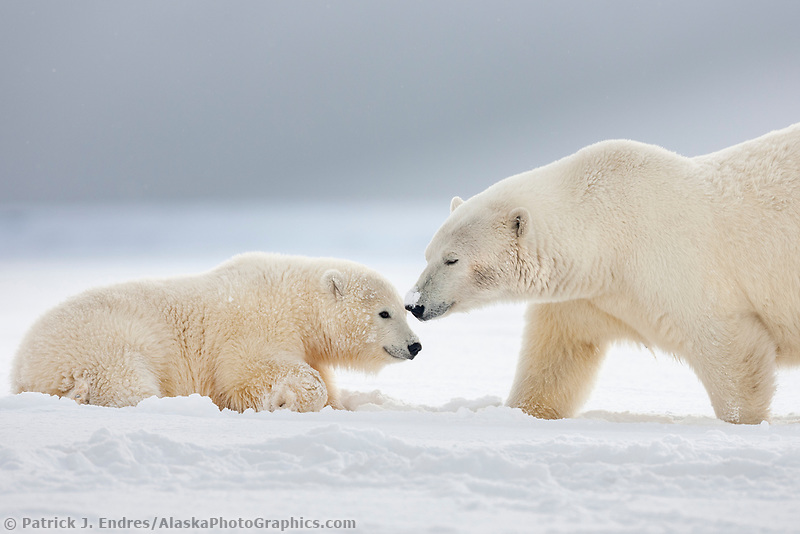 Adult female polar bear is affectionate with her cub who rests on the snow on an island in the Beaufort sea, Arctic, Alaska.
