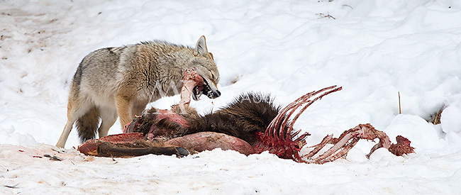Coyotes are one of Yellowstone's common winter residents.  This one is working on an old elk carcass.