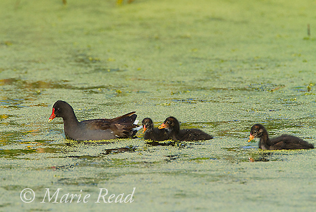 Common Gallinules (Gallinula chloropus), adult swimming with three downy chicks, Montezuma National Wildlife Refuge, New York, USA