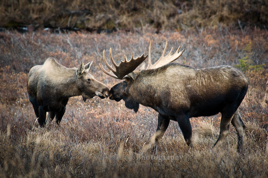 The dominant bull moose is testing females if they rut.