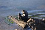 FB-S192  Sea Otter