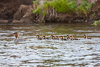 Common merganser and chicks, Brooks river, Katmai National Park, southwest, Alaska.