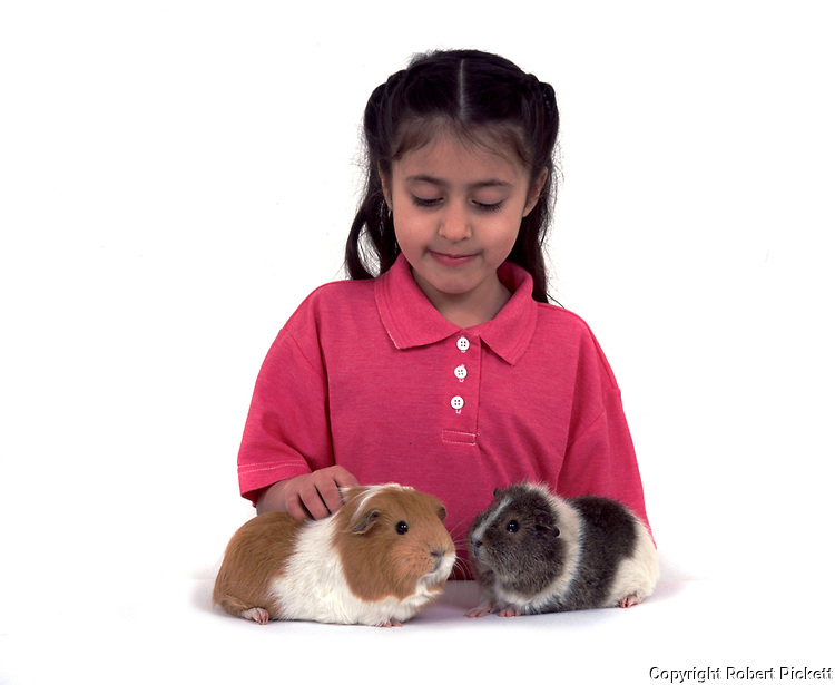 Young Girl stroking two Pet Guinea Pigs, aged 7 years old, domestic, white background, cut out, studio,
