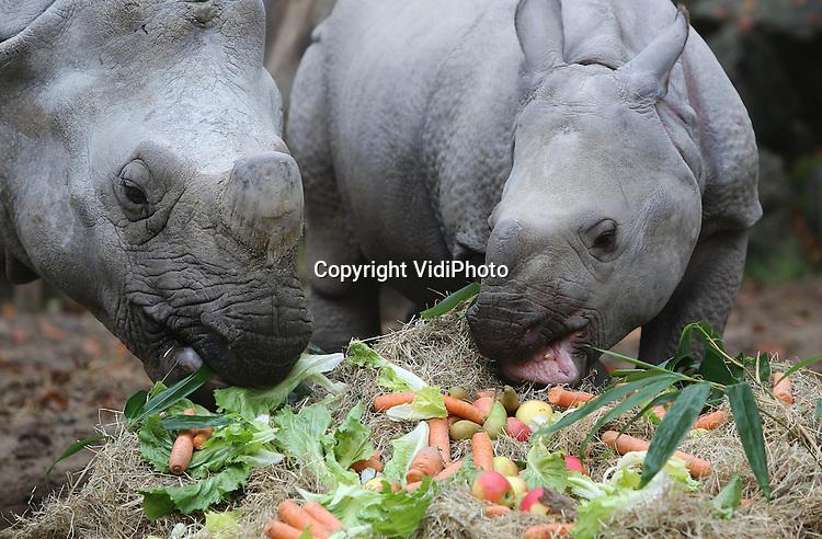 Foto: VidiPhoto..AMERSFOORT - Het is maandag precies een jaar geleden dat de Indische neushoorn Saar in Dierenpark Amersfoort een gezonde dochter ter wereld bracht. Speciaal om haar verjaardag te vieren, werden Sunanda en Saar maandag getrakteerd op een groentetaart. Ondanks het grote formaat van de taart, werd deze snel naar binnen gewerkt. Sunanda is de eerste neushoorn die in het 65-jarige bestaan van de Amersfoortse dierentuin is geboren. Indische of pantser neushoorns zijn een ernstig bedreigde diersoort..