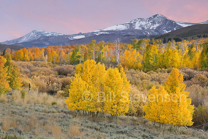 A picture of fall aspen leaves on Conway Summit in the Sierra Mountains of California