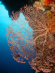 Big Mushroom (Shi Lang), Green Island -- Red Gorgonian coral fan.