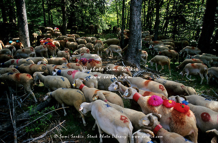 Flock of sheep crossing a forest during a summer transhumance, Gard, Provence, France.