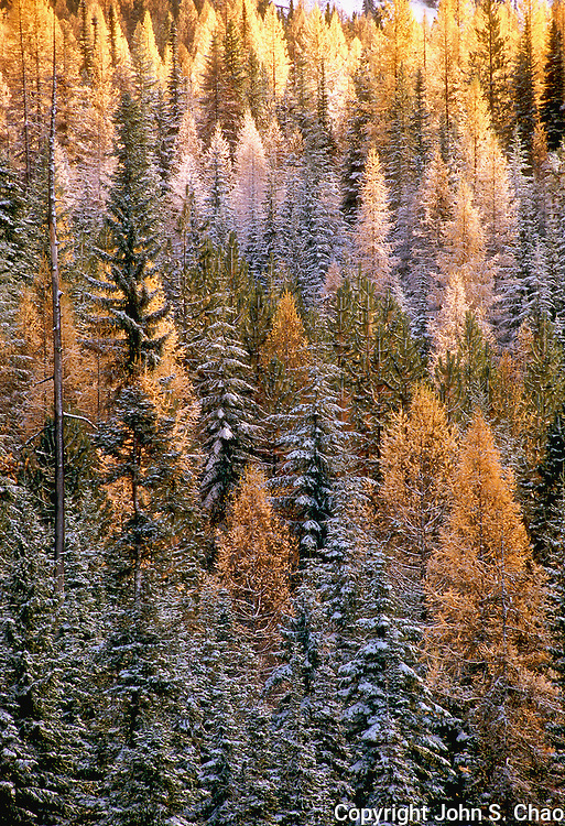 A winter's early snows turn an evergreen forest frosty white, with Larch trees still in their fall colors among the mix of conifers. Blewett Pass, Wenatchee National Forest, Washington State.....Photographed in 35mm format on Velvia 50 film.