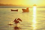 Baja, Mexico, Brown pelican, Pelecanus occidentalis.Coyote Bay, east coast of Baja Sur, Gulf of California, Sea of Cortez, Mexico.