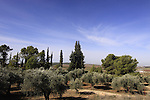 Israel, Shephelah, Olive trees at the Trappist Monastery in Latrun.