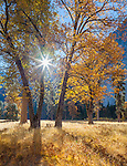 Yosemite National Park, California<br /> Black oak (Quercus kelloggii) with morning sun illuminating fall colored branches in El Capitan meadow, Yosemite Valley