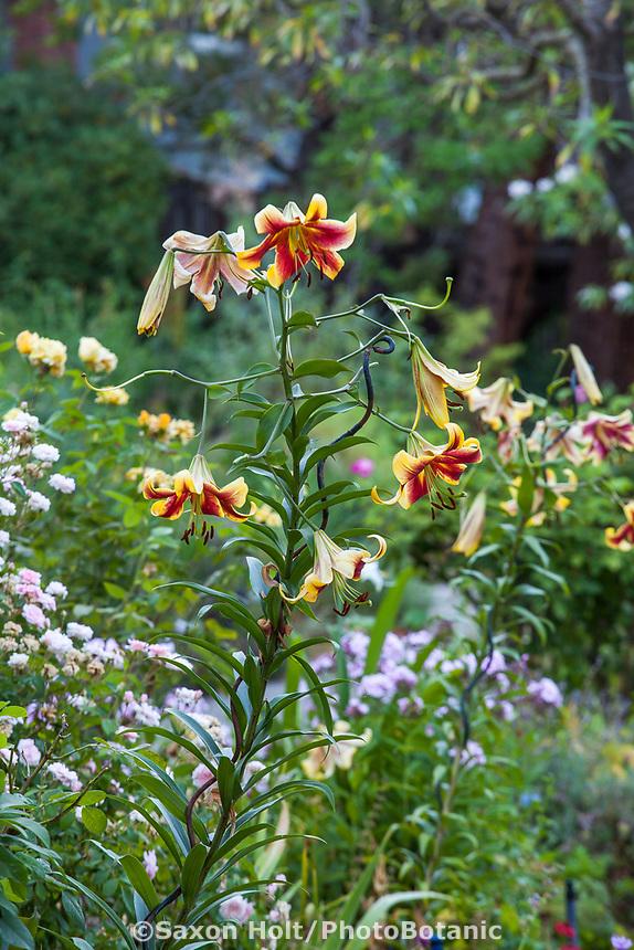 Orienpet Lily flower, Yanker-Hansen garden