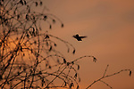 Humming bird flying toward a birch tree silhouetted, against a sunset sky