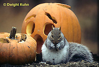 MA23-166z  Gray Squirrel - eating pumpkin seeds  - Sciurus carolinensis