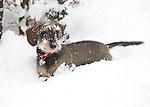 Haarlem - Teckel Saar in de sneeuw. COPYRIGHT KOEN SUYK