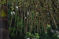 """Açaí do Herbário da Universidade Federal do Acre. É o """"açaí de Cruzeiro do Sul"""", como costumam dizer os acreanos que o conhecem. Eles estão mais uma vez bastante carregados, atraindo a passarada, especialmente os sabiás que começam a reaparecer para a chegada de nosso inverno amazônico.<br /> De acordo com Evandro Ferreira, Ph.D. em botânica, especialista em palmeiras, veio conferir os pés de açaí.<br /> <br /> Leia o diagnóstico dele:<br /> <br /> """"Você definitivamente tem em casa pés de açaí branco, mas o nome científico do mesmo é Euterpe oleracea. Em outras palavras: seus pés de açaí são legítimos pés de açaí-de-touceira, que produzem frutos maduros de cor meio esverdeada e que resultam em um vinho de cor creme. E mais: esta variedade de açaí é encontrada até no mercado de Belém. Veja no blog Perfume de pequi que os frutos à venda em Belém correspondem aos frutos que vimos na sua casa.<br /> <br /> Descartei a espécie E. catinga, que havia sugerido, porque ao consultar a literatura especializada verifiquei que ela possui frutos com endosperma homogêneo. Os frutos que vimos ontem têm endosperma ruminado, característica essa que corresponde aos frutos de E. oleraceae (açai-de-touceira)."""