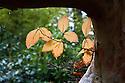 Stewartia pseudocamellia syn. Stuartia pseudocamellia, early November. Also known as Japanese Stewartia or deciduous camellia.