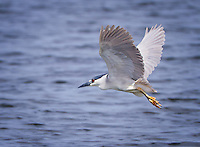 Black-Crowned Night Heron in flight with wings aloft over water