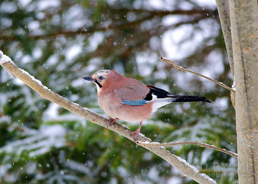 Eurasian Jay perched in a tree in the snow