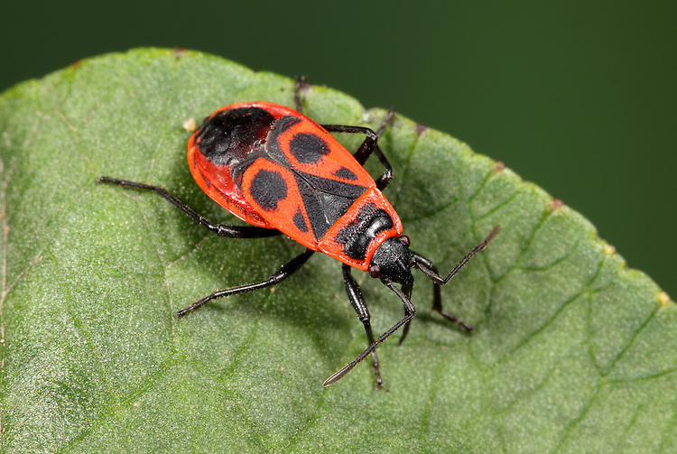 Fire Bug - Pyrrhocoris apterus