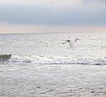 A snowy egret flies along the surf line at St. Augustine Beach.