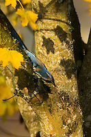 Western scrub-jay (Aphelocoma californica) among fall leaves.  Pacific Northwest.