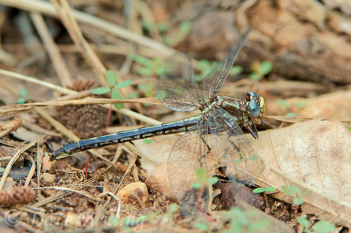 333890004 a wild female ashy clubtail dragonfly gomphus lividus perches on the ground in sam houston national forest san jacinto county texas