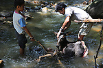 August 2012: Penan native hunters with deer shot with blowpipe, the body was preserved in cold river water overnight and collected by the family the next day. Near Long Gita, Limbang district, Sarawak, Borneo<br />