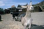 Jail bird jackass foal gets up to great the photographer, Oatman, Ariz.