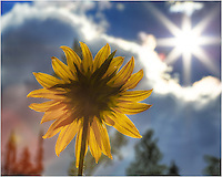 In the Colorado Rockies, this sunflower looks to the sun on a nice morning. Colorado wildflower images such as this are easy to find in the summertime.