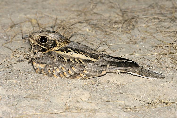 Indian Nightjar - Caprimulgus asiaticus