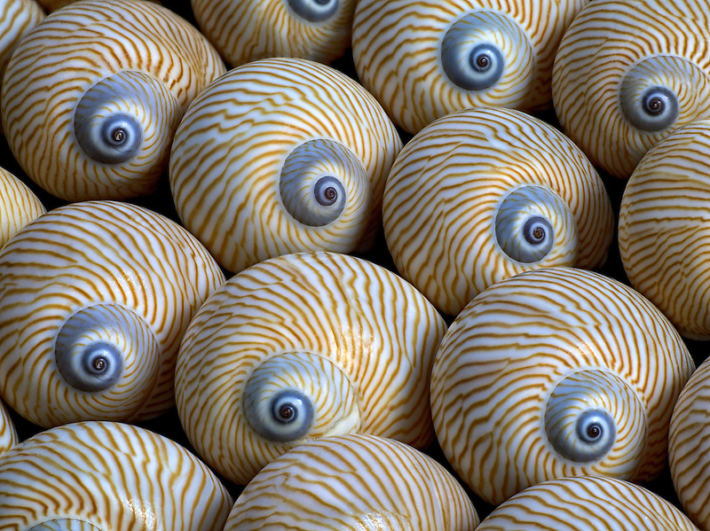 Close up of Striped Moon sea shell.