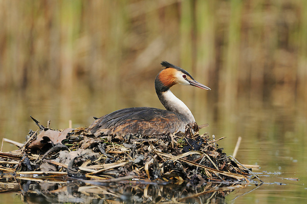 Great-crested Grebe (Podiceps cristatus), female on nest, Switzerland, Europe
