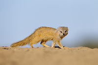 Juvenile yellow mongoose on the move