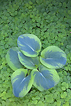 Vashon Island, WA<br /> Varigated hosta (Hosta sieboldiana) surrounded by redwood sorrel (Oxalis oregana)