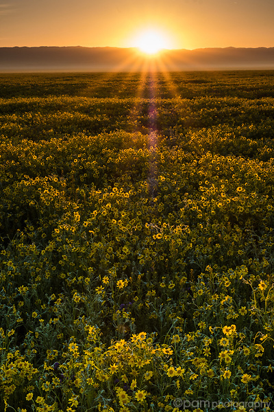 Sunrise over field of yellow daisies at the Carrizo Plain National Monument