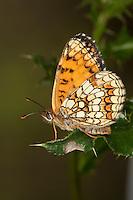 Wachtelweizen-Scheckenfalter, Gemeiner Scheckenfalter, Blütenbesuch, Nektarsuche, Melitaea athalia, Mellicta athalia, heath fritillary