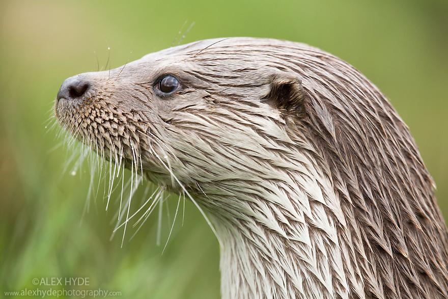 Portrait of European river otter {Lutra lutra}, captive, UK