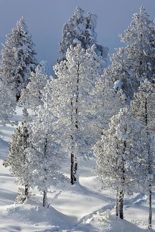 Snow covered evergreen trees in Yellowstone National Park, Wyoming