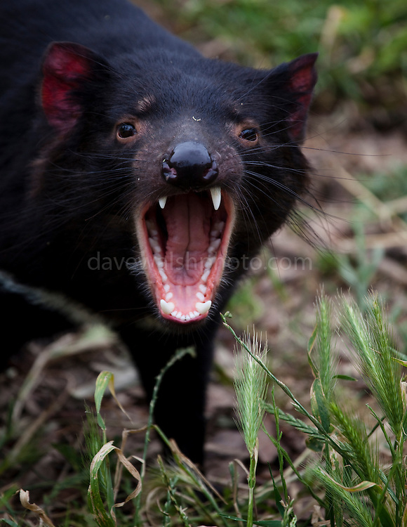 Tango, a captive Tasmanian Devil performs a fear gape or yawn in an enclosure at Taroona, outside Hobart, part of a government insurance programme against the extinction of the species in the wild by Devil Facial Tumour Disease, a contagious cancer that causes the animals to starve to death... The cancer, one of just a few known to be contagious, is only becoming understood by scientists, but having spread rapidly through the population, with the devil listed as endangered by the IUCN. In December 2009, it was announced that the disease may be related a peripheral nerve cell, called the Schwann cell, which has led some hopes for preserving the devil, at least in terms of quarantine insurance populations.