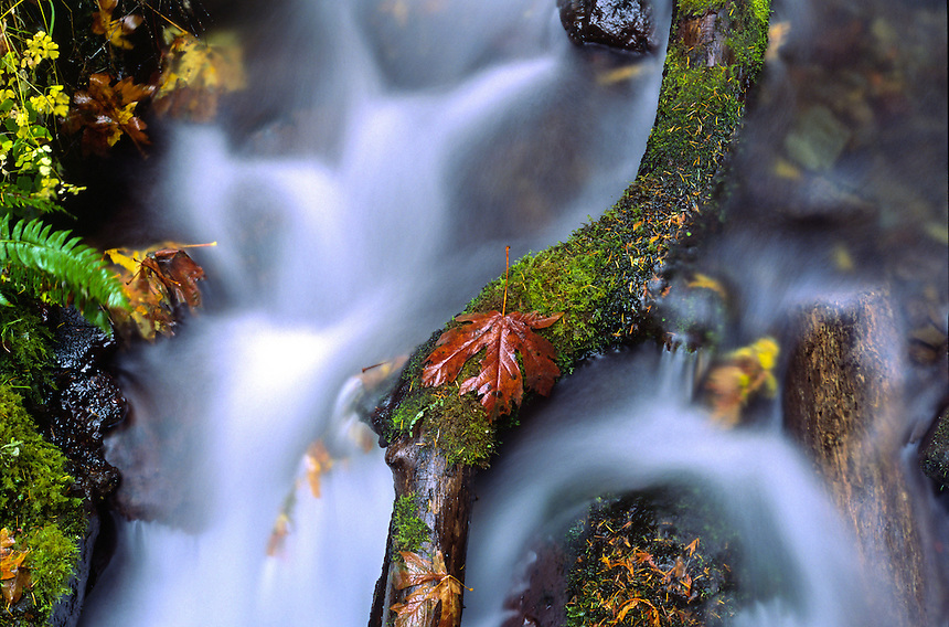 Fallen Maple Leaf on Fallen Log in Stream, Columbia River Gorge National Scenic Area, Oregon, US
