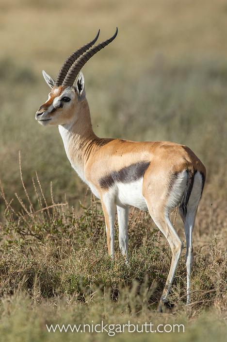 Male Thompson's Gazelle (Eudorcas thomsonii) near Ndutu, Serengeti / Ngorongoro Conservation Area, Tanzania. April 2015