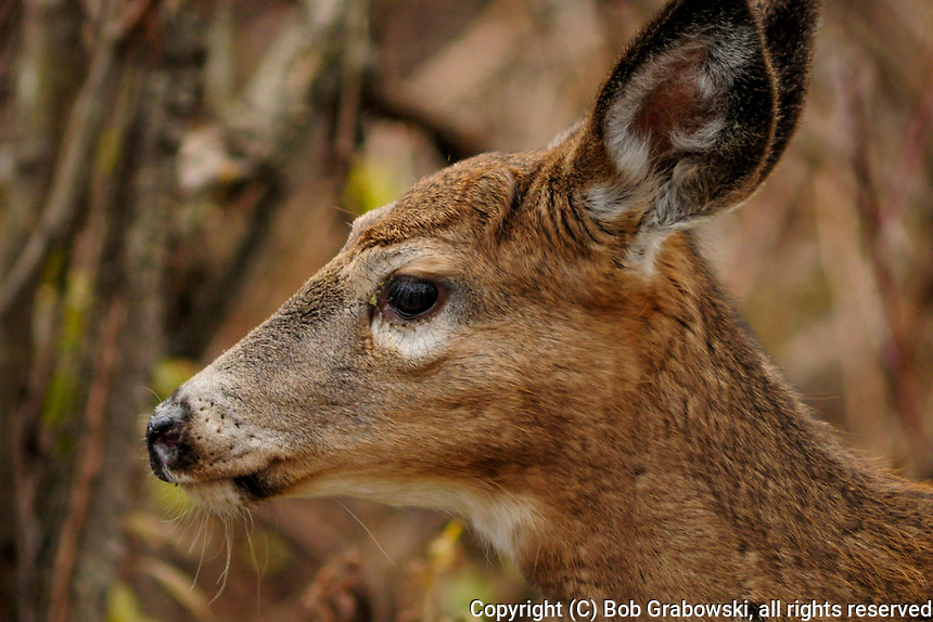Head shot of a Whitetail Deer (Odocoileus virginianus ) at Five Rivers Enviromental Center in Delmar, New York