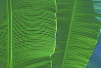 Banana leaves, close up