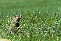 MA04-026z   Woodchuck - sitting up alert in grassy meadow - Marmota monax