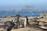 Elephant seal juveniles at Ano Nuevo State Park
