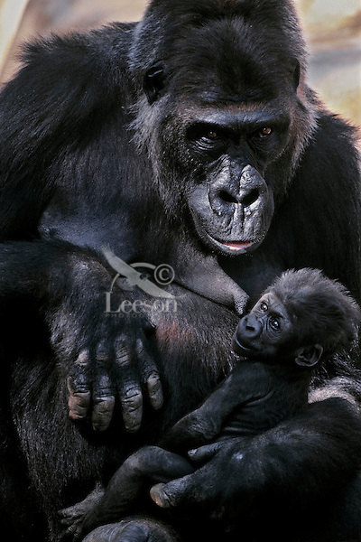 Lowland Gorilla mother with young