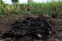 Zambia Chiawa, Game Reserve Area des Lower Zambezi Nationalpark, dead elephant in maize field which was shot by rangers after village attack / SAMBIA Chiawa, Doerfer im Game Reserve Area des Lower Zambezi Nationalpark, die Dorfbewohner und ihre Felder werden staendig von Wildtieren wie Elefanten attackiert, Skelett eines Elefanten, Ranger toeteten den Elefant der Maisfelder zerstoert und Dorfbewohner angegriffen hat